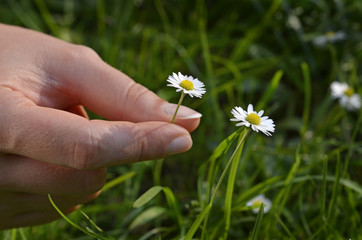 hand picking  daisy