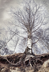 Birch with roots