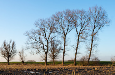Trees at the edge of a stubble field