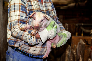 Farmer holds piglets on the arm