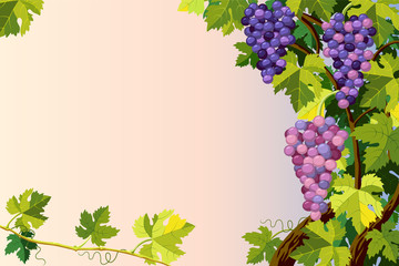 Grapes bunches.