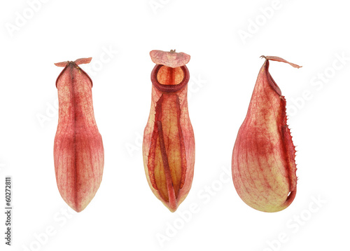 Tropical pitcher plant