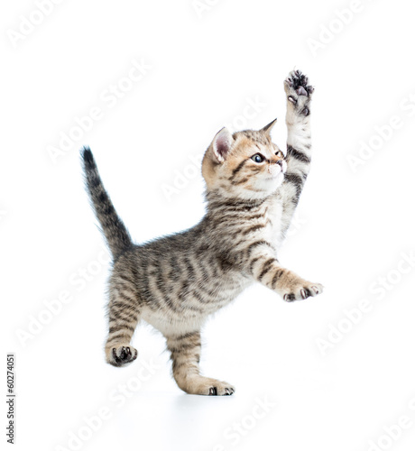 funny playful baby Scottish british kitten isolated on white bac