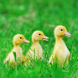 Small ducklings  green grass