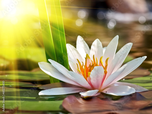 water lily - 60275600