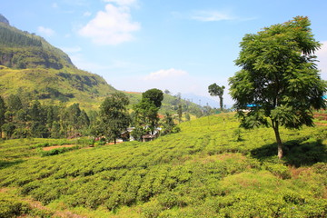 Ceylon tea plantation in Sri Lanka