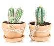 Beautiful cactuses in flowerpot, isolated on white