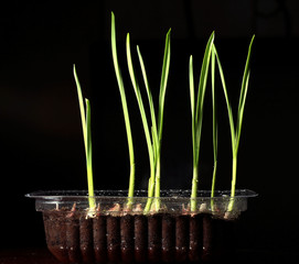 green shoots, sprouts, grass, on a black background