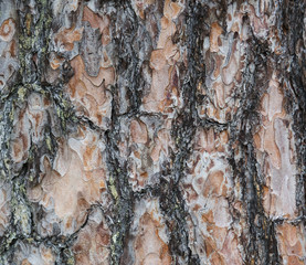 Bark texture, background of pine tree