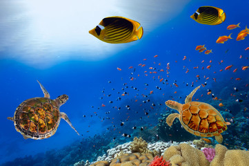 Green turtles over the sun in sipadan water while scuba diving