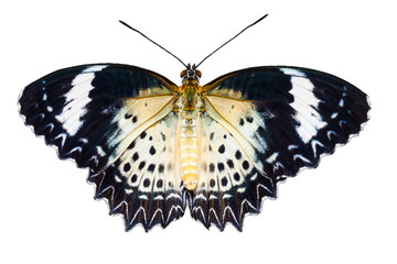 Female of Leopard lacewing butterfly on white background
