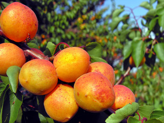 close-up of the ripe apricots