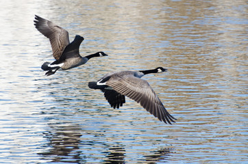 Canada Geese Taking to Flight from the Water
