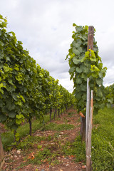 Alsace vineyards