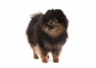 Pomeranian puppy on white background