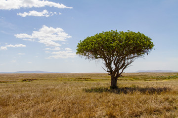 Tree in Serengeti