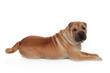 Beautiful Shar Pei Dog Breed