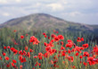 red poppies in mountains