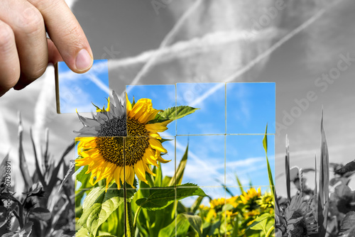 Crop of sunflowers in the field