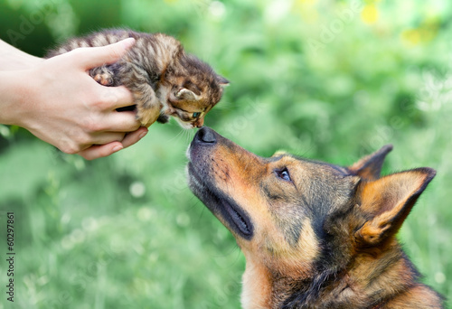 Papiers peints Chien A big dog and a little kitten in female hands sniffing each othe