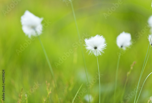 Blooming Common cottongrass, Eriophorum angustifolium