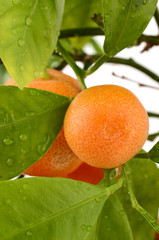 Small tangerines