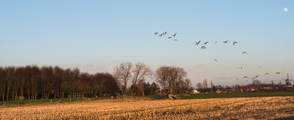 Geese at dusk flying low over a rural area