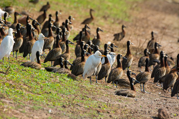 Mixed flock of Cattle Egrets and White-faced Whistling Ducks