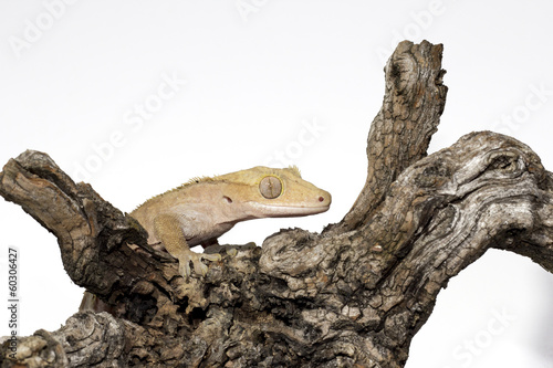 Crested Gecko on the Branch