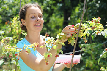 A smiling young woman gathering raspberries