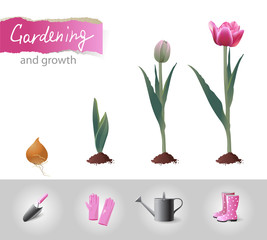 growing tulip