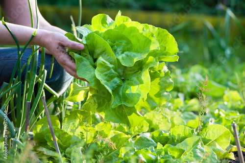 picking vegetables