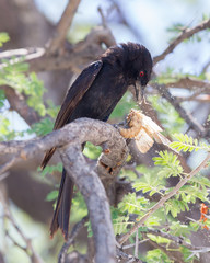Fork-tailed Drongo eating a large insect