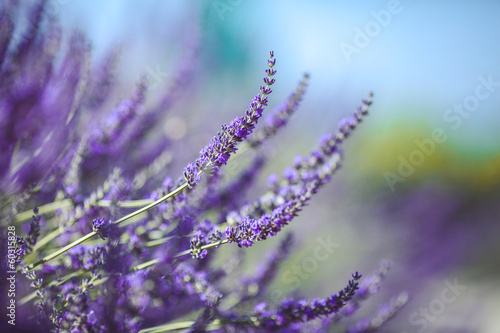 Lavender Flowers - 60315828