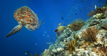 Sea turtle swimming over the coral reef.
