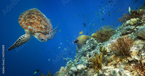 Sea turtle swimming over the coral reef. - 60316088
