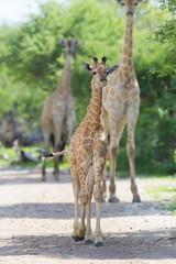 Young giraffe in Etosha, Namibia