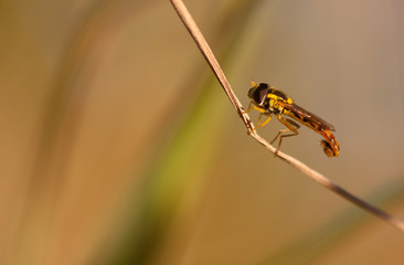 hoverfly sitting on a grass
