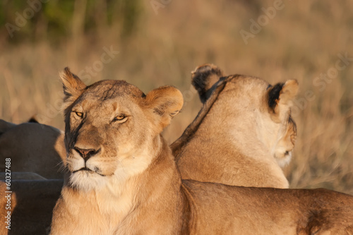 Two lionesses resting at sunset