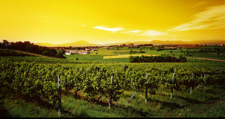 vineyard in the sunset