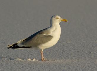 Herring gul in the snow