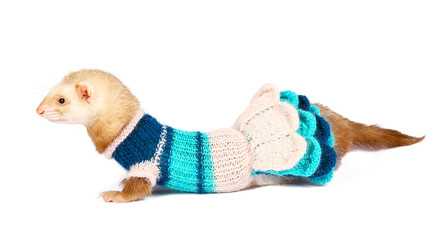 ferret female dressed isolated