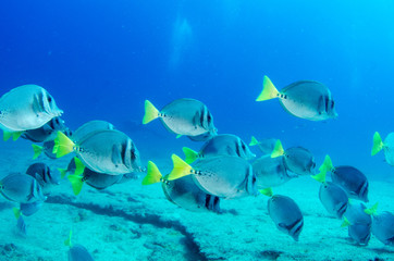 Surgeonfish, pacific reefs
