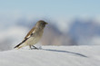 A sparrow on white snow winter time mountain background
