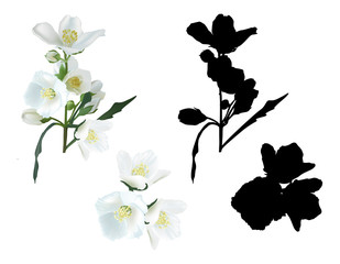 jasmin flower branches and shadows isolated on white