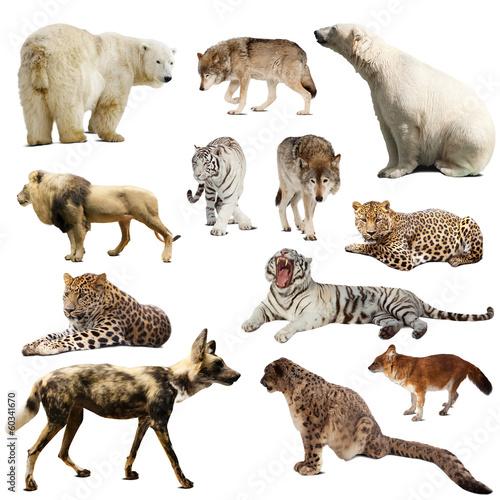 Plexiglas Luipaard Set of predatory mammals over white