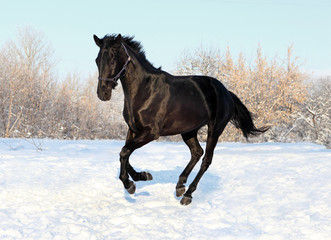 Russian thoroughbred horse in winter