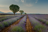 Lavender fields with trees forming a line