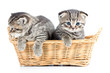 two funny small cats kittens in wicker basket