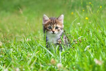 kitten plays in a green grass